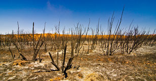 Desert Shrubs after a Wildfire in Utah. Charred Remains of Desert Shrubs after a Wildfire in Utah Stock Images