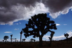 Desert silhouette. Silhouette of Joshua Trees in the desert with upcoming thunderstiorm Stock Images
