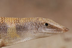 Desert skink Royalty Free Stock Photography
