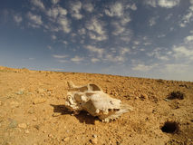 In the Desert. Skull in the Desert of Morocco, North Africa Royalty Free Stock Images