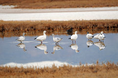 Desert Snow Geese Royalty Free Stock Photography