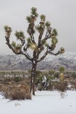 Desert Snow. A rare snow fall in Joshua Tree National Park.n Royalty Free Stock Image