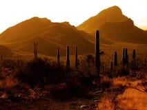 Desert Southwest Saguaro Cacti. Many Saguaro cactus on mountainside in desert southwest Royalty Free Stock Images