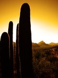 Desert Southwest Saguaro Cacti Stock Photos