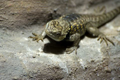 Desert Spiny Lizard Stock Photography