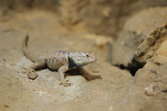 Desert spiny lizard Royalty Free Stock Images