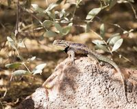 Desert spiny lizard stock photos