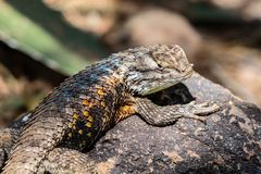 Desert Spiny Lizard on Rock, head turned to camera. Royalty Free Stock Photography