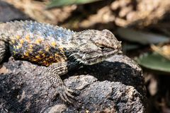 Desert Spiny Lizard on rock. Desert Spiny Lizard sunning on a dark colored rock, with brightly colored scales, In Arizona`s Sonoran desert stock images