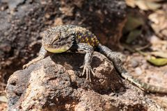 Desert Spiny Lizard on rock. Desert Spiny Lizard sunning on a dark colored rock, with brightly colored scales, In Arizona`s Sonoran desert royalty free stock image
