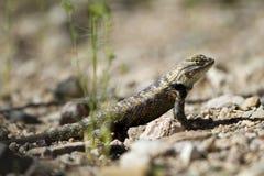Desert Spiny Lizard, Sceloporus magister Stock Photo
