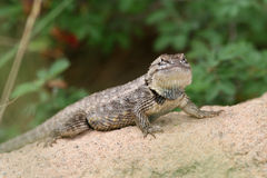 Desert Spiny Lizard (Sceloporus magister) - AZ Royalty Free Stock Photos
