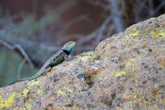 Desert Spiny Lizard, Sceloporus magister Royalty Free Stock Photos