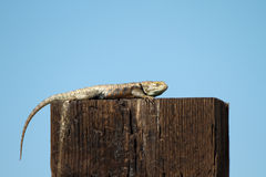 Desert Spiny Lizard, Sceloporus magister Royalty Free Stock Photo