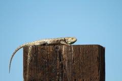 Desert Spiny Lizard, Sceloporus magister Royalty Free Stock Photo