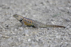 Desert Spiny Lizard (Sceloporus magister) Stock Photo