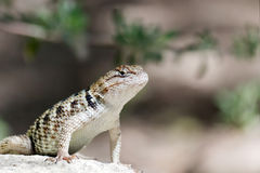 Desert Spiny Lizard Royalty Free Stock Photos