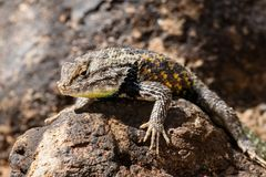 Desert Spiny Lizard on rock. Royalty Free Stock Photography