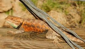 Desert Spiny Lizard Sunning stock photography