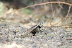 Desert Spiny Lizard, Tucson Arizona Desert Royalty Free Stock Photography