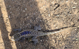 Desert Spiny Lizard Royalty Free Stock Photography