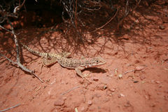 Desert spotted lizard Royalty Free Stock Photo