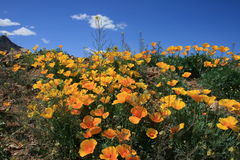 Desert Spring. Poppies on a nature walk in the franklin mountains stock photography