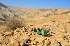 Desert spring. The first plants in the desert in the spring. Ein Avdat. Israel Royalty Free Stock Photo