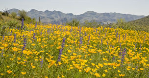 Desert Spring Wildflowers. Poppies, lupine and other spring wildflowers blooming in Arizona's Sonoran Desert Stock Photo