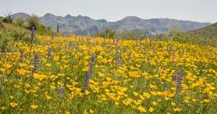 Desert Spring Wildflowers. Poppies, lupine and other spring wildflowers blooming in Arizona's Sonoran Desert stock photo