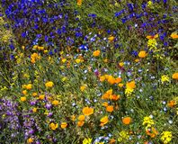 Desert Spring Wildflowers Stock Image