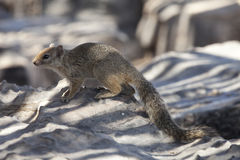 Desert squirrel. On a rock in Etosha (Namibia Royalty Free Stock Image