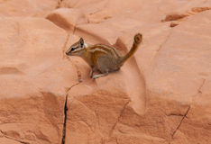 Desert squirrel. A cute little Harris antelope squirrel scoping the desert area to find any food Stock Photo