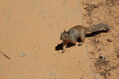 Desert squirrel Royalty Free Stock Photo