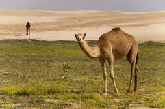 Desert with stone and camel Stock Images
