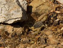 Desert Striped Scorpion Stock Image