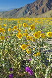 Desert sunflowers. Royalty Free Stock Photos