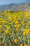 Desert sunflowers. Royalty Free Stock Images