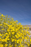 Desert sunflowers. Stock Image