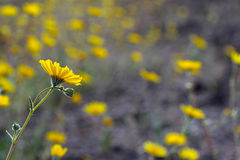 Desert sunflowers (Geraea canescens), Death Valley National Park, USA Royalty Free Stock Photos