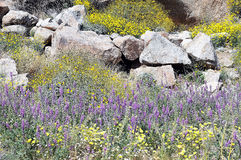 Desert Sunflowers, Lupins, Tidy Tips. Desert sunflowers, with purple Lupins, and yellow Tidy Tips backed by rock formations at Anza Borego, Califoronia during Royalty Free Stock Image
