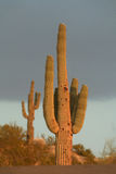 Desert Sunset. A pair of cactus in the Arizona desert in the late afternoon sun Stock Image