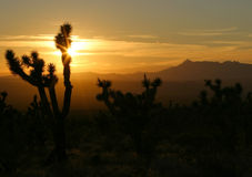 Desert sunset. Joshua Tree silhouetted against a Southwest U.S. sunset Royalty Free Stock Photography
