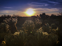 Desert sunset. Beautiful desert sunset with light catching Chola cacti trees in foreground as sunsets Stock Images