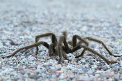 Desert Tarantula #1 Royalty Free Stock Images
