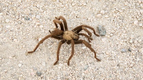 Desert Tarantula Royalty Free Stock Photography