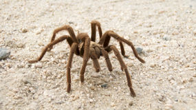 Desert Tarantula Stock Photography