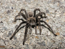 Desert Tarantula stock photo