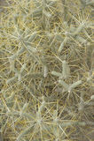 Desert Texture. Opuntia ramosissima. Branched Pencil Cholla stock image
