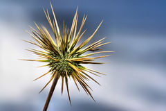 Desert thistle Stock Image